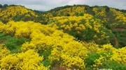 """广州从化:春暖花开 满山尽是""""黄金甲"""""""